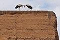 Eurasian White Stork, Palais el-Badi (5038939634).jpg