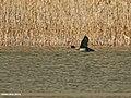 Eurasian Wigeon (Anas penelope) (28288551750).jpg