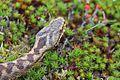 European Adder (Vipera berus) (7345076330).jpg
