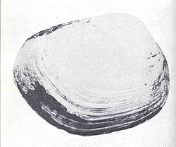 FMIB 34793 Shell of Schizothaerus nuttalli, the 'Great Blue Clam'.jpeg