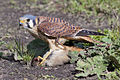 Falco sparverius -San Luis Obispo, California, USA -female-8.jpg