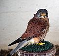 Falcon (3435837416).jpg