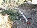 Fallen Eucalyptus camaldulensis limbs (1).jpg