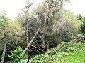 Fallen trees alongside a forest walk - geograph.org.uk - 558108.jpg