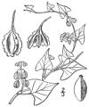 Fallopia scandens var cristatum BB-1913.png