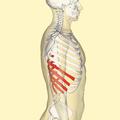 False ribs lateral.png