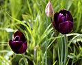 Feeringbury Manor black tulip cultivar, Feering Essex England.jpg