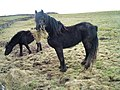 Fell Ponies - geograph.org.uk - 355702.jpg