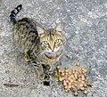 Feral Grey Cat Messina 4-5-21.jpg