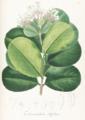 Ferdinandusa ovalis Pohl106-original.png