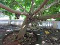 Fig Fruits, അത്തിപ്പഴം.JPG