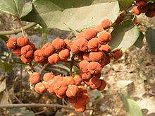 220px-Figs_of_Ficus_hispida_Tree_Mumbra_Mumbai_04-03-12_DSCF1020_%284%29.JPG