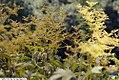 Filipendula purpurea Elegans 2zz.jpg