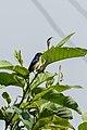Fire-breasted Flowerpecker (Dicaeum ignipectus) अग्निवक्ष पुष्पकोकिल 1.jpg
