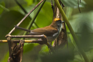 Fire-crested alethe species of bird