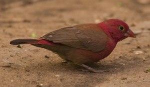 Firefinch - Red-billed firefinch (Lagonosticta senegala)