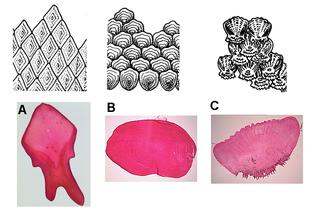 A: scaglia ganoide B: scaglia cicloide C: scaglia ctenoide