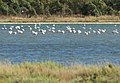 Flamingoes - panoramio (1).jpg