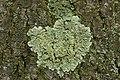 Flavoparmelia soredians (39276366924).jpg