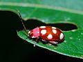 Flea Beetle (Omophoita cyanipennis ?) (6782820769).jpg