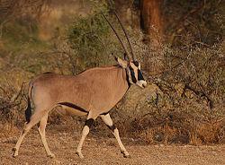 definition of oryx