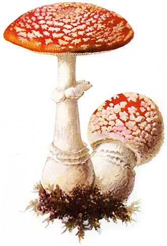 Amanita - Amanita muscaria Albin Schmalfuß, 1897
