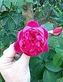 Flores de Guaramiranga CE - Pink.jpg