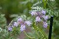 Flower, Phacelia tanacetifolia - Flickr - nekonomania.jpg