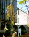 Flowering male catkins of paper birch.jpg