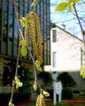 Flowering male catkins of paper birch.jpg