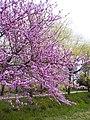 Flowering of Cercis siliquastrum in the 'Parco delle Valli' urban park.jpg