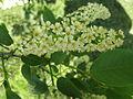 Flowering plants BCP 026.JPG