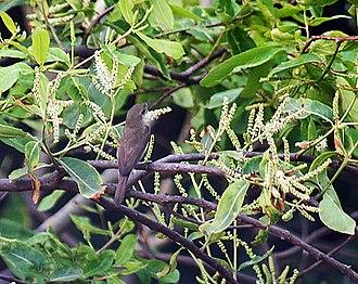 Terminalia arjuna - Arjuna flowers with a Sykes's warbler