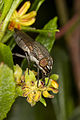 Fly on Hop Bush (22203777572).jpg
