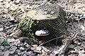 Fomitopsis pinicola 122685718.jpg