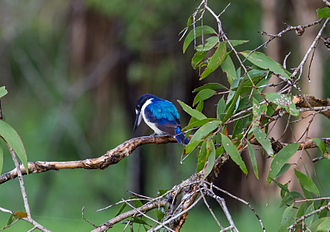 Forest kingfisher - Forest kingfisher about to dive for food - Fogg Dam - Middle Point - Northern Territory - Australia