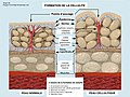 Formation of Cellulite-fr.jpg