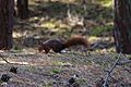 Formby red squirrel forest 6.jpg