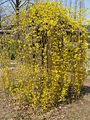Forsythia suspensa3.jpg