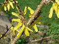 Forsythie (Oleaceae) 3.JPG