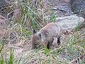 Fox vulpes vulpes in grass.jpg