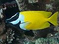 Foxface rabbitfish (Siganus vulpinus) (32673145597).jpg