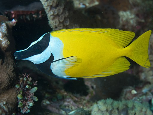 Foxface rabbitfish (Siganus vulpinus) (32673145597)