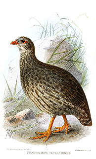 <i>Pternistis</i> Genus of birds