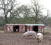Free-range pigs south of Young Plantation - geograph.org.uk - 1732625.jpg