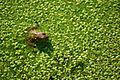 Frog in pond among aquatic plants.jpg