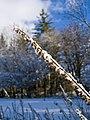 Frozen Foxglove (5296657152).jpg