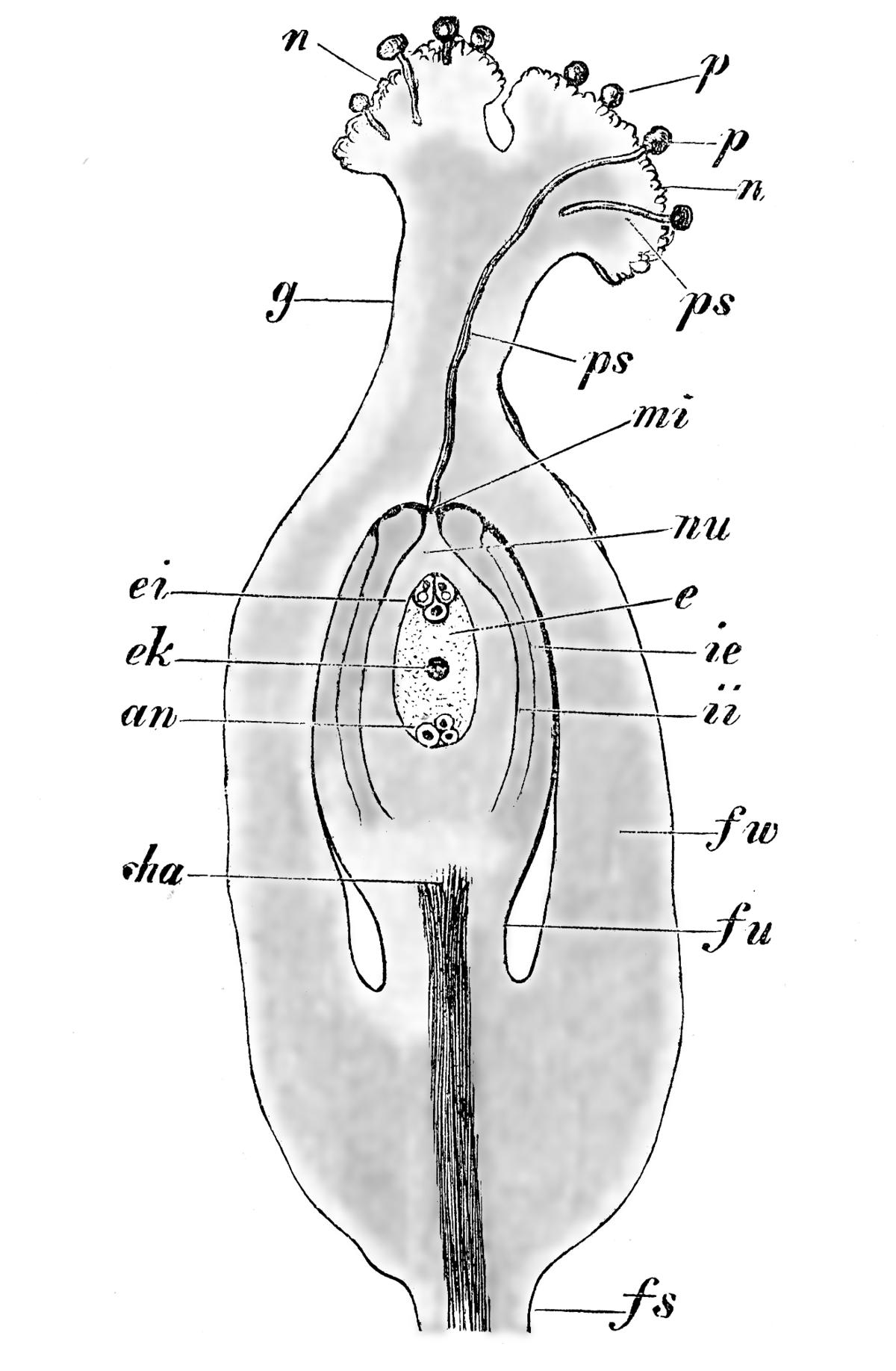 Stempel (Botanik) – Wikipedia