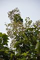 Fruits and Leaves - Tectona Grandis - Hijli - West Midnapore 2015-09-28 4149.JPG
