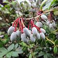 Fruits of Berberis julianae.jpg